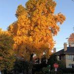 large tree in fall