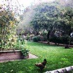 chicken in yard