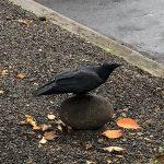 crow on rock