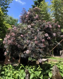 large dark-leafed bushy tree with pink blossoms